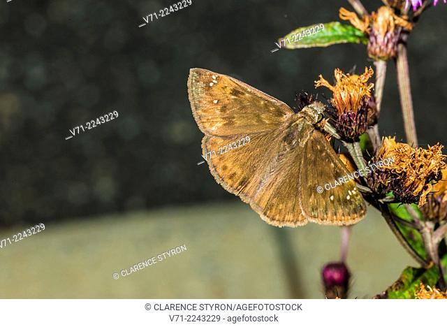Wild Indigo Duskywing Skipper (Erynnis baptisiae) Feeding on Ironweed (Vernonia noveboracensis) Flower