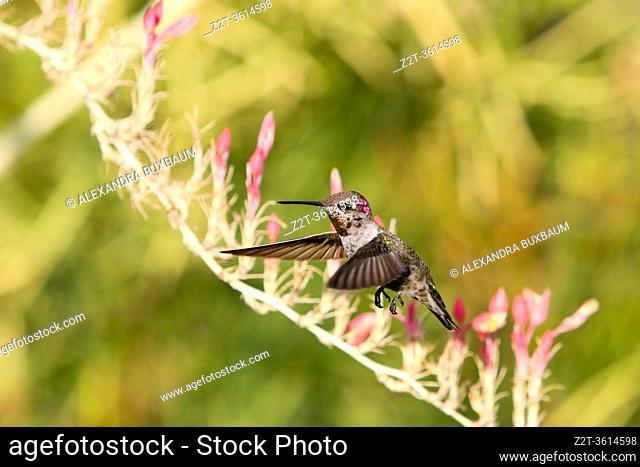 Anna's Hummingbird, Mesa, Arizona