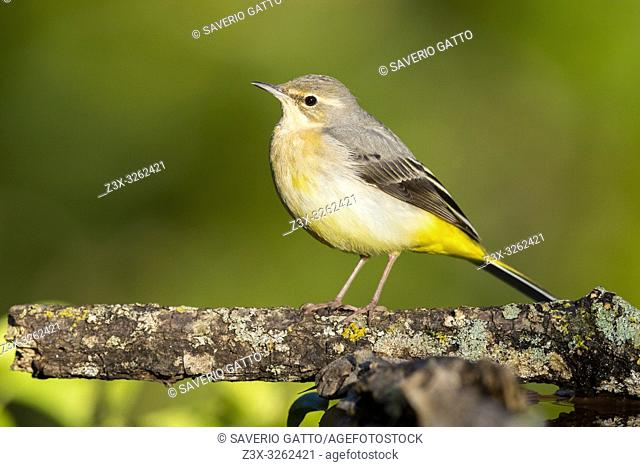 Yellow Wagtail (Motacilla cinerea), adult in winter plumage perched on a branch