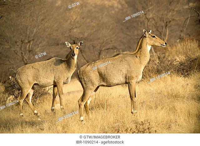 Sambar Deer (Rusa unicolor or Cervus unicolor), Ranthambore National Park, Rajasthan, India