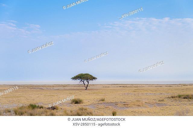 Acacia singular (Salvadora persica). Etosha National Park. Namibia. Africa