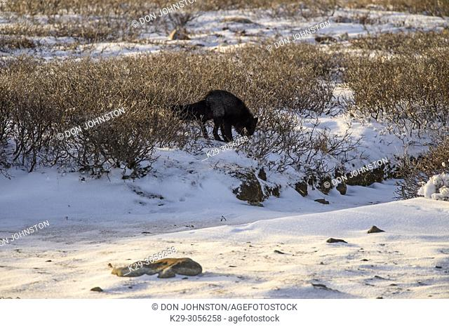 Silver fox (Vulpes vulpes) Resting in willows, Churchill Wildlife Management Area, Churchill, Manitoba, Canada