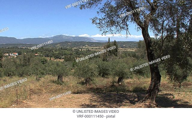 Greece olive tree & view