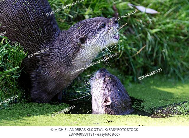 Close-up of an otter eating special food, Holland