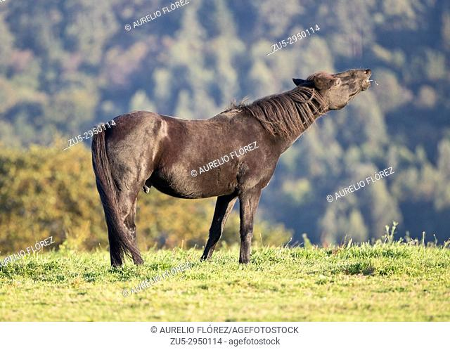 Asturian asturcón or pony is a race of rustic horse and of small size of Asturian origin, in Spain. It forms part of the races that inhabit from the antiquity...