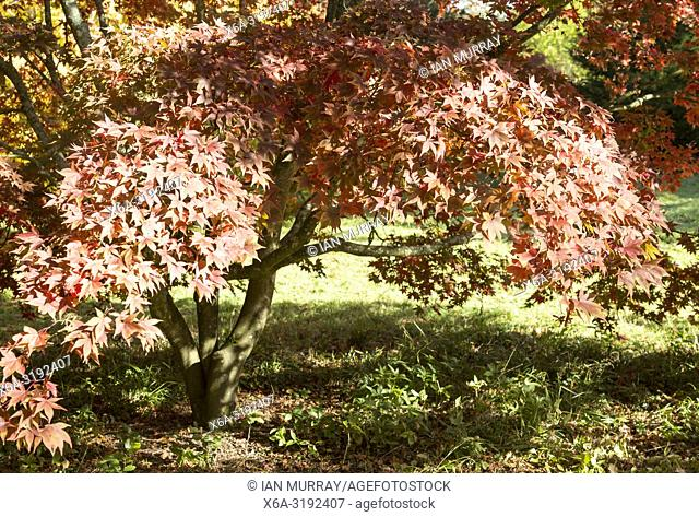 Japanese maple tree in autumn colour, Acer Palmatum, National arboretum, Westonbirt arboretum, Gloucestershire, England, UK 'Osakazuki'