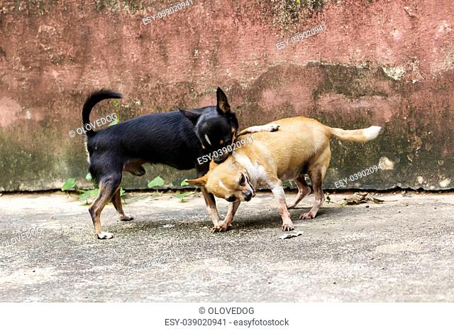 Two chihuahua dog playing