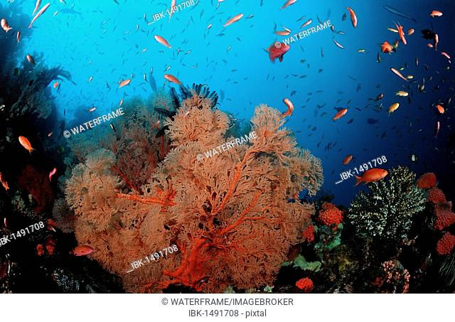 Coral reef with Sea-fans, Komodo, Indo-Pacific, Indonesia, Southeast Asia, Asia