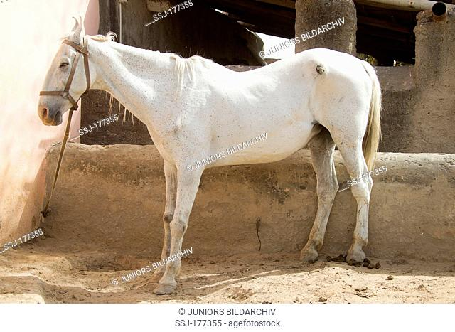 Domestic horse. Gray horse suffering from laminitis