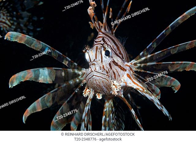 Lionfish, Pterois volitans, Triton Bay, West Papua, Indonesia