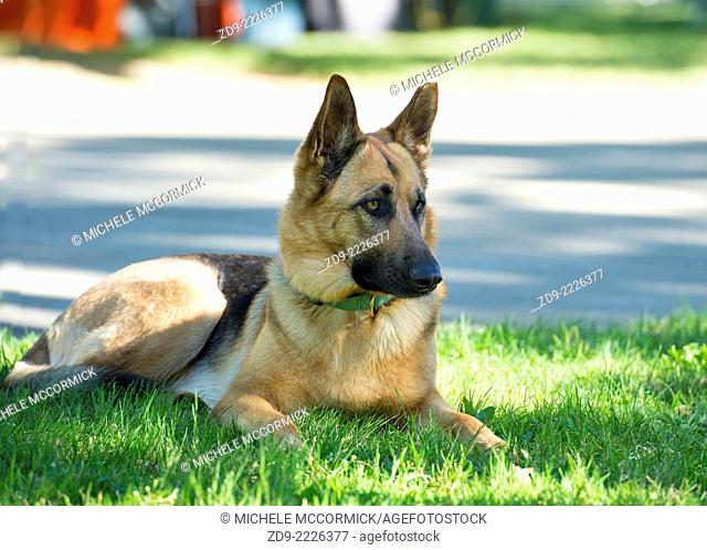 A German Shepherd Dog patiently awaits its owners return