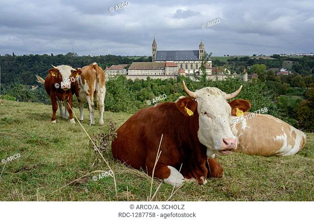 domestic cattle, castle Comburg, Baden-Wuerttemberg, Schwaebisch Hall-Steinbach, Comburg, Heilbronn-Franconia, Hohenlohe region, Germany