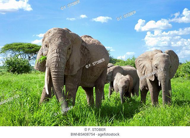 African elephant (Loxodonta africana), grazing elephant family, Kenya