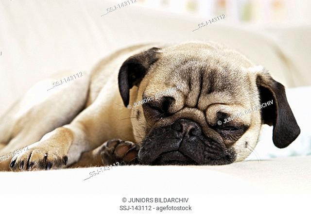 pug - lying restrictions: Tierratgeber-Bücher / animal guidebooks