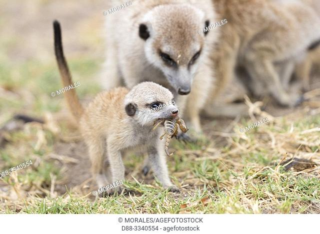 Africa, Southern Africa, Bostwana, Nxai pan national park, Meerkat or suricate (Suricata suricatta), adults and youngs, eating a scopion