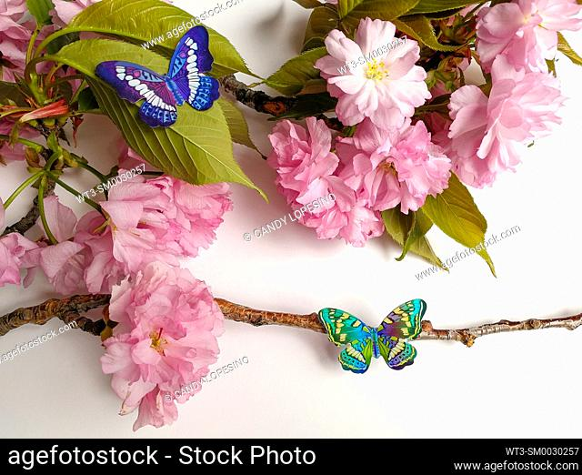 Tree branch with pink flowers, green leaves and two butterflies on white background