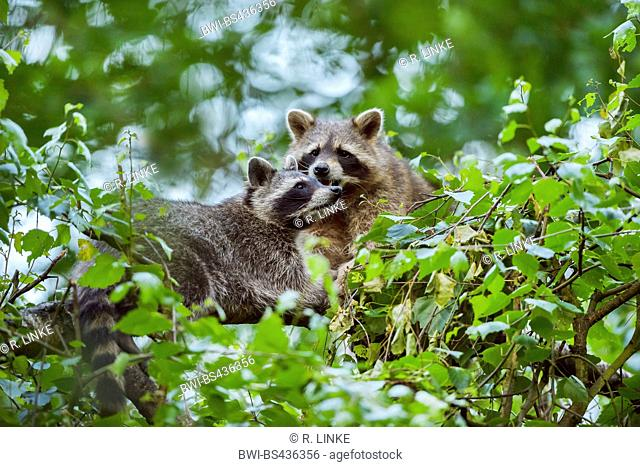common raccoon (Procyon lotor), two individuals climbing on a branch, Germany