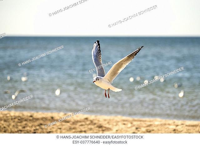 black headed gull flying over a beach