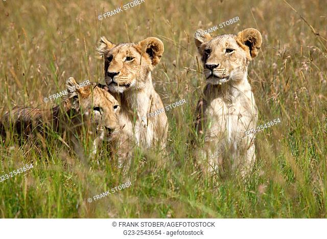 Kenya, Maasai Mara, Young lions (panthera leo) in field