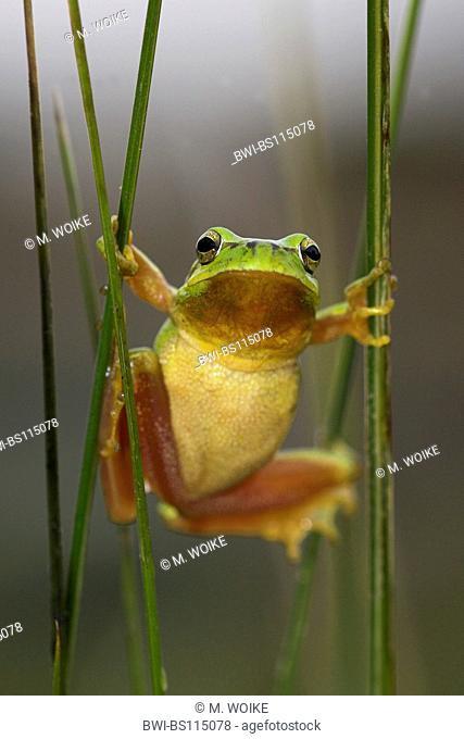 stripeless treefrog, Mediterranean treefrog (Hyla meridionalis), male climbing in reed, Spain, Andalusia