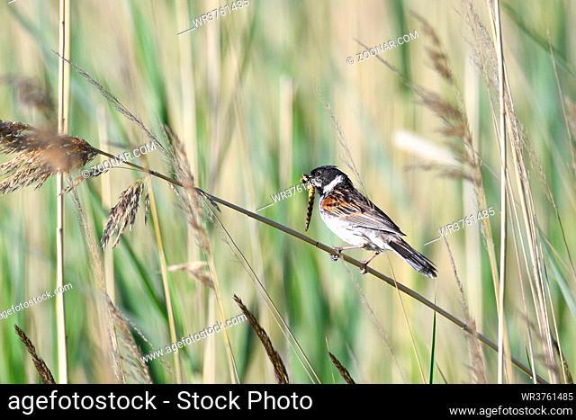 Rohrammer, emberiza schoeniclus, fuetternd, Deutschland , Common Reed Bunting, maennchen
