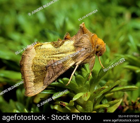 Moth (Staurophora celsia) on a plant, seen side-on. Germany