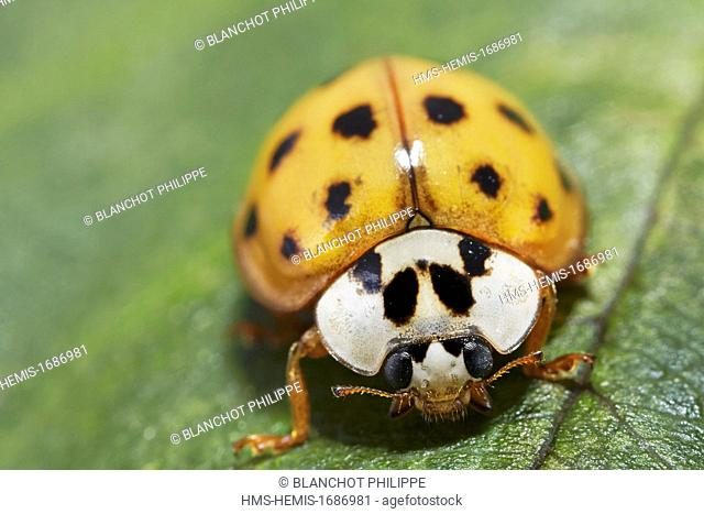 France, Coleoptera, Coccinellidae, Harlequin ladybird, Multicolored Asian lady beetle or Halloween lady beetle (Harmonia axyridis), 5 mm, portrait