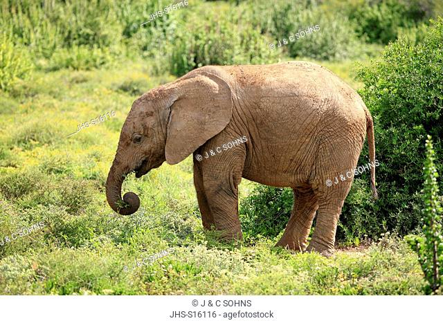 African Elephant, (Loxodonta africana), young feeding, Addo Elephant Nationalpark, Eastern Cape, South Africa, Africa