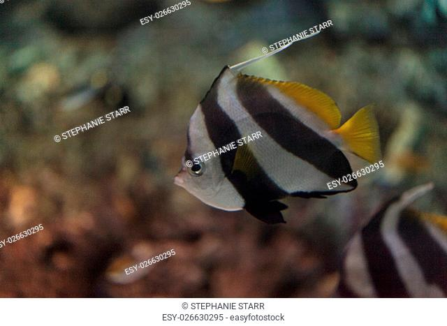 Pennant Butterflyfish Heniochus acuminatus has black and white stripes with a yellow tail and larger eyes