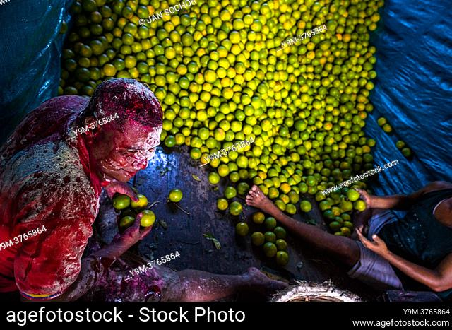 An Afro-Colombian worker, covered by thrown flour due to his birthday, loads green oranges (for juicing) into baskets inside a truck parked in a fruit market in...