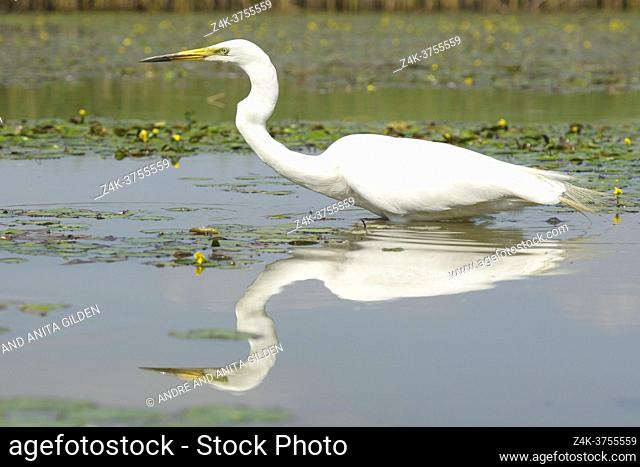 Great Egret (Ardea alba), hunting fish with reflection in the water, Hortobagy national park, Hungary