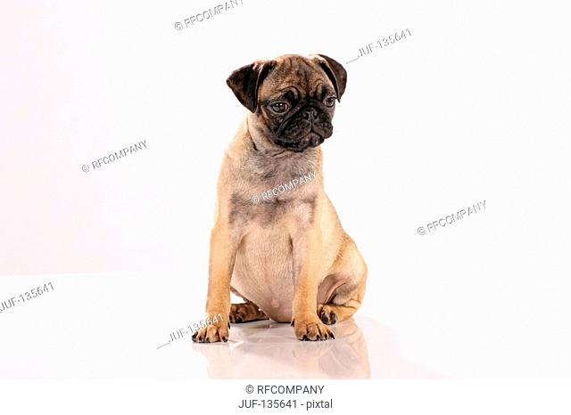 pug - puppy - cut out