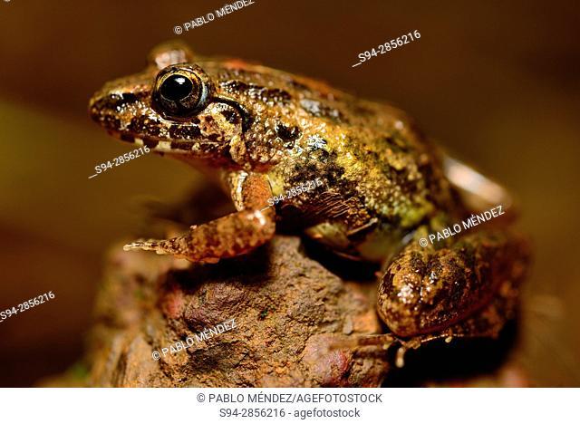 Common frog (Fejervarya keralensis) in Cotigao, Goa, India