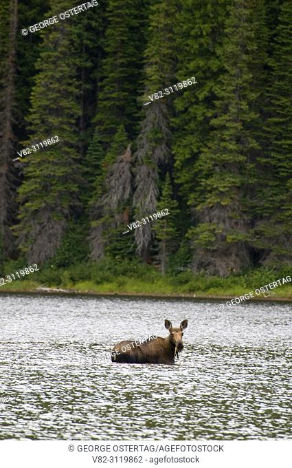 Moose at Scott Lake, Great Bear Wilderness, Flathead National Forest, Montana