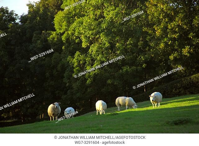 Sheep grazing in a field near Pavenham Bedfordshire England UK