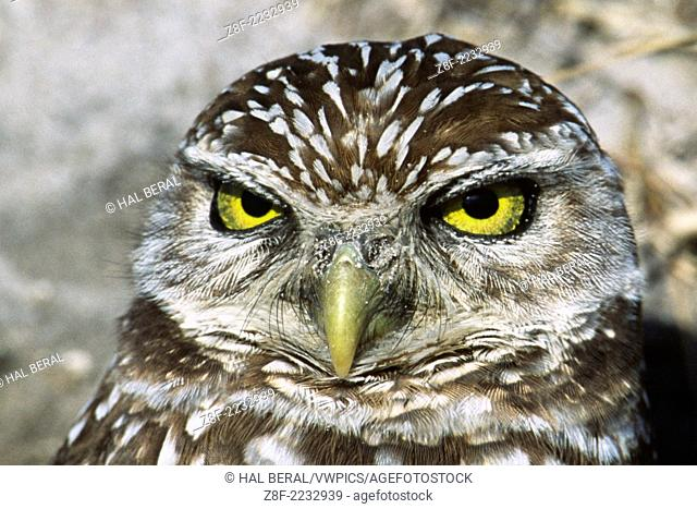 Burrowing Owl closeup.(Athene cuncularia).Central Valley,California