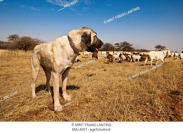 Anatolian sheepdogs trained to guard goats against predators, Cheetah Conservation Fund, Namibia
