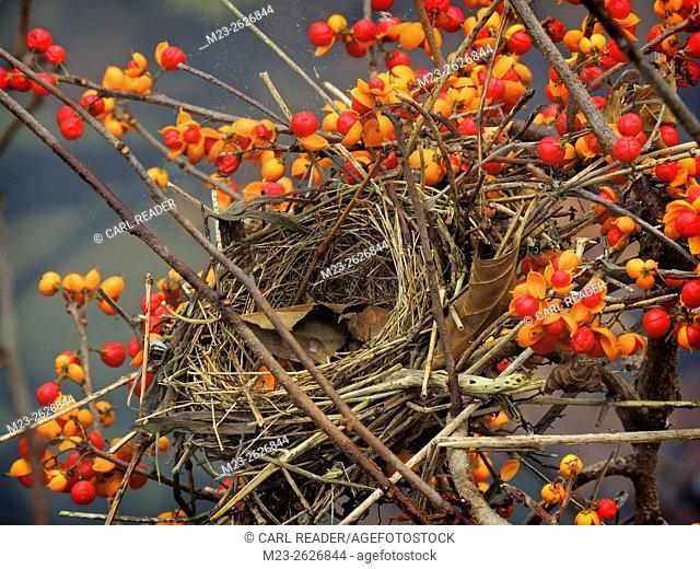 A bird's nest abandoned in autumn stands by for the spring season in a brilliant display of berries, Pennsylvania, USA