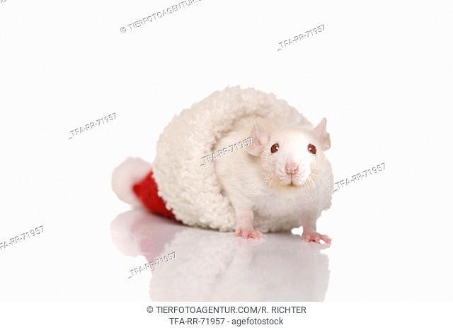 young rat