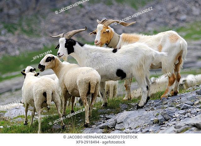 Goats and sheep in Ordesa National Park. Pirineos mountains. Huesca province. Aragon. Spain