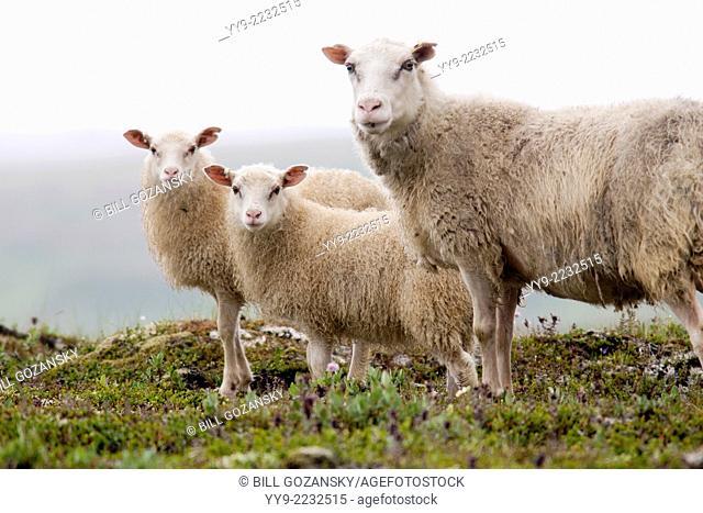 Icelandic Sheep - Iceland