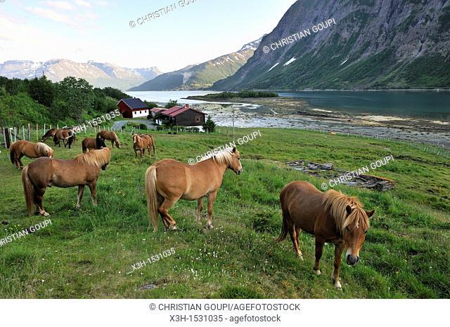 Lyngshest horses, Solvik Gard, region of Lyngen, County of Troms, Norway, Northern Europe