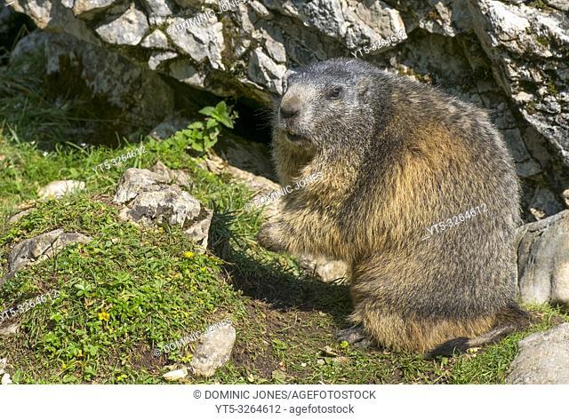 Alpine marmot (Marmota marmota) in the Austrian Alps, Europe