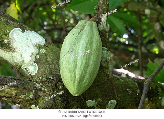 Cacao tree or cocoa tree (Theobroma cacao) is an evergreen tree native to tropical America. Its seeds are used to make cacao and chocolate