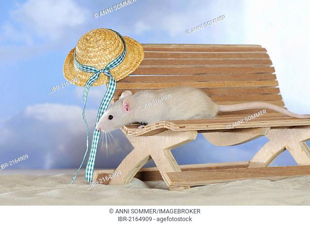 Fancy Rat, cream coloured, on a small wooden bench, with a sunhat