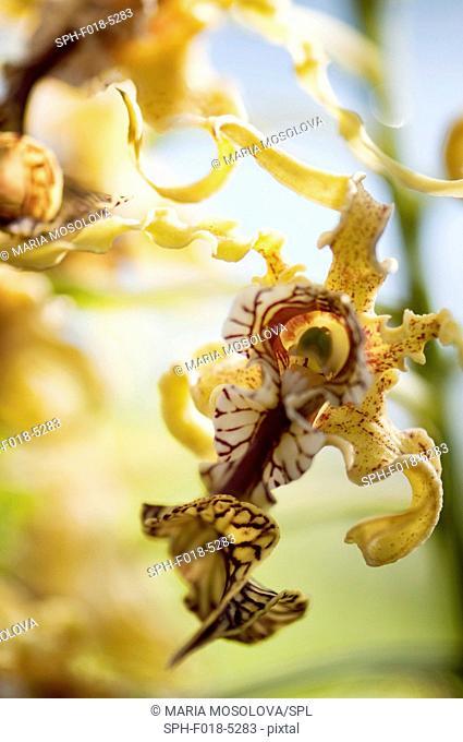 Dendrobium spectabile orchid
