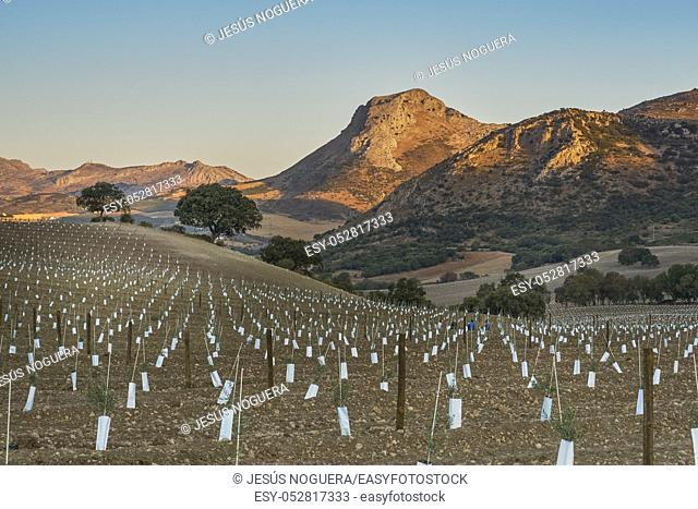 Olive plantation in the Sierra de Cabras in Antequera, Malaga