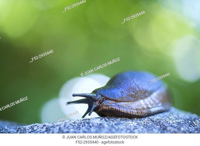 Slug, or land slug, Redes Natural Park, Caso Council, Asturias, Spain, Europe
