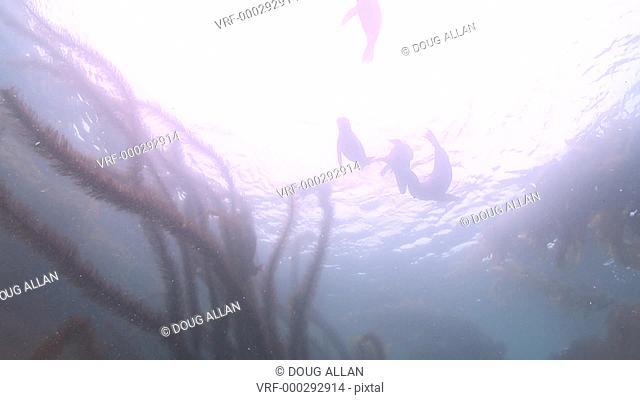 California sea lions (Zalophus californianus) playfight on sea bottom and swim up to surface