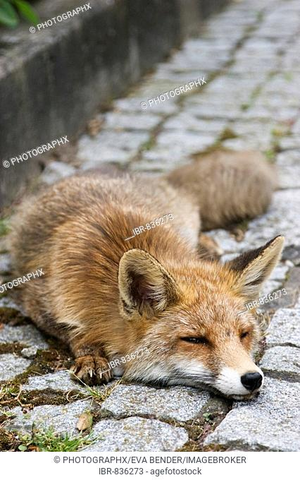 Red Fox (Vulpes vulpes) lying on a pavement in a residential area, dying